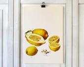 Vintage Print  - Lemons - Book Plate  - 1965