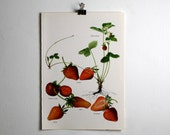Vintage Print  -  Strawberries  - Book Plate  - 1965