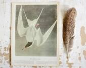 Common Tern  - Vintage Bird Plate - 1967