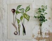 Small Vintage Botanical Flower  Print - Purple Flowers