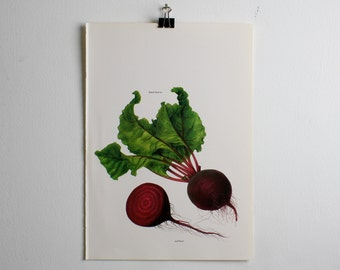 Vintage Print, Botanical Basal Leaves and Red Beets, Book Plate, 1965, Unframed Art for Your Gallery Wall