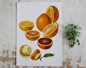 Vintage Print  - Botanical - Oranges, Blood Orange, Moro - Book Plate  - 1965 - Gallery Wall Print - Bitter Orange