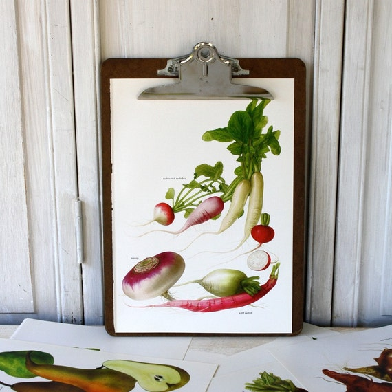 Vintage Book Page - Vintage Illustrations - 1965-  Radishes, Turnip - For Framing, Decoupage, Mixed Media, Assemblage, Collage