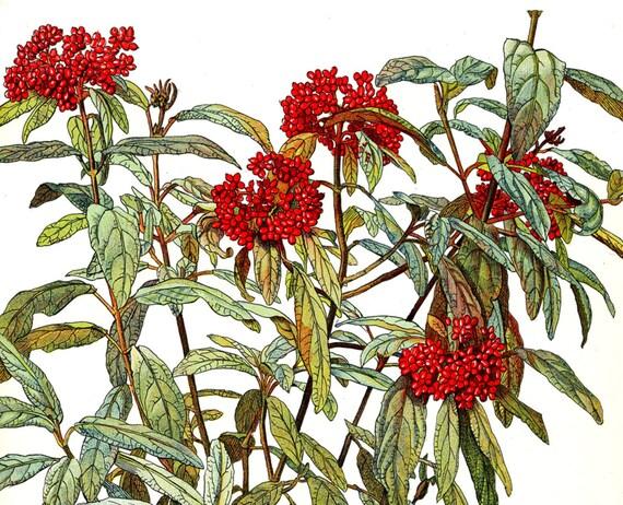Botanical Print  - Viburnum Rhytidophyllum - Shrub and Tree Studies