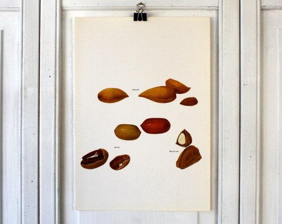 Vintage Print  - Brazil Nut, Almond, Pecan  - Book Plate  - 1965