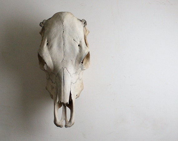 Really Big Vintage Cow Skull