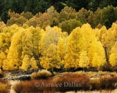 Fall Color Photograph Golden Aspens Gold Trees Fall Scenic Eastern Sierra Photograph