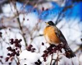Robin in Winter  Color Photograph Nature Photo Winter Photo