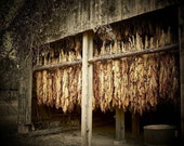 The Golden Leaf  Tobacco Barn Fine Art print 8x10