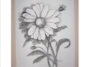Pen and Ink Illustration 'Daisies' Print of  Original