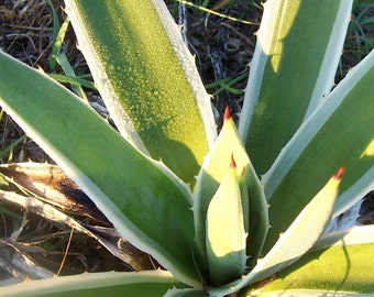 Agave Baby Plant with Roots