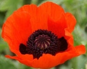 50  Perennial Red Poppy Seeds