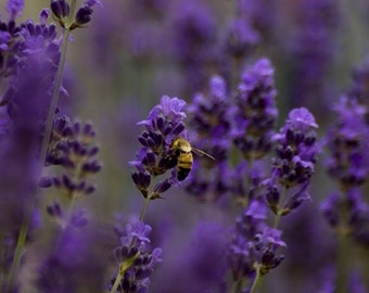 Lavender Fragrance Oil Low Shipping