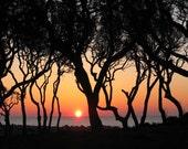 Live Oak Trees at Fort Fisher - Image 1204