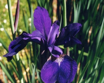 Rainbow of Irises Natural Flower Essence Remedy for Soul Communion, Creative Potency, Divine Presence on Earth