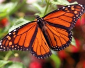 Monarch Butterfly on Red Flowers, Fine Art Photograph Note Card