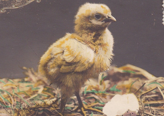1900s French Easter postcard, Baby chick, paper ephemera.