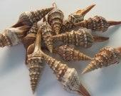 12 TURRIS SEA SHELLS