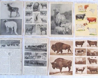 "LIVESTOCK- Sheep & Goat family, Cattle family, Dairy breeds, more  -  antique prints --  from ""Book of Knowledge"" 1912"