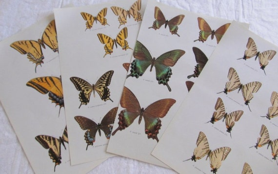 BUTTERFLY PRINTS  --species identification-- entomology, lepidopterology (6 total prints)