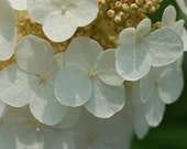 The White Hydrangea Flower