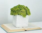 yarrow mound, green- modern dried flower arrangement