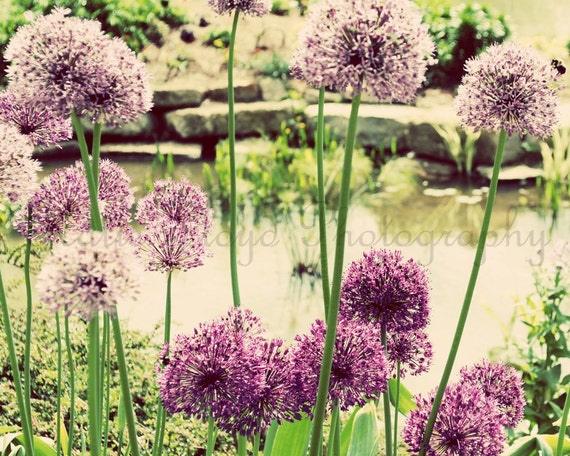 Flower Photography Print Purple Alliums Floral Decor
