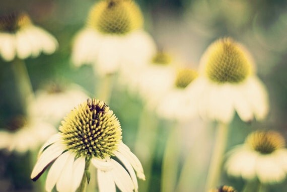 White Coneflowers at the End of Summer - 20x30 Fine Art Flower Photography Print - Sage Green, Citrine and Cream Home Decor Photo