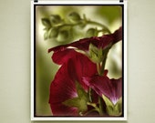 BETTY'S HOLLYHOCKS - Signed Fine Art Photograph, 8x10