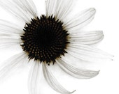 Black Sepia Flower Art Photograph Daisy Coneflower Wedding Decor Minimalist