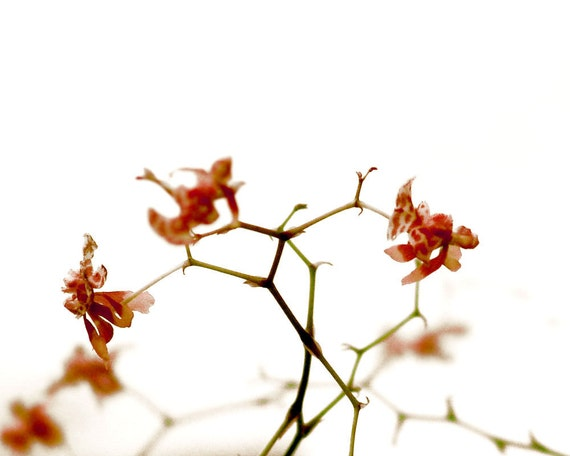 Minimalist Orchid Botanical Photograph Red Blush Flower Dreamy Decor Print