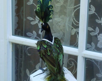 Regal Peacock in Green and Black
