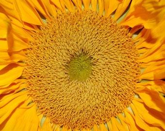 SUNRISE - 8 x 8 Yellow Sunflower Fine Art Photo Print