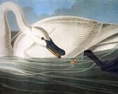 Trumpeter Swan by John James Audubon mono deluxe Needlepoint Canvas