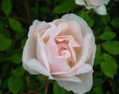 Climbing Rose - Mme. Alfred Carriere - Blush White - Shade Tolerant - Easy to Grow