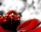 Chocolate Flower. Tiny Golden Jewels on Ruby Red Velvet. Black and White and some Gray. Photo 5x5