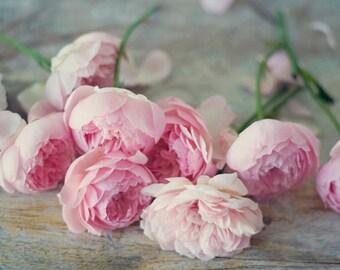 Still Life Photography - English Roses Photo Old English Pink Still Life Photo Flower Photography Print Shabby Home Decor Girls Room Art