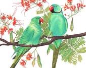 Rose-ringed Parakeets Print 8x10
