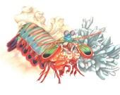Mantis Shrimp Print