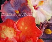 Rare Hibiscus Blooms - 8 x 10 Fine Art photograph