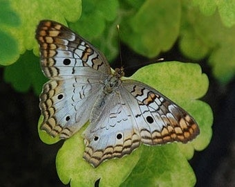 White Peacock Butterfly - 4x6 Fine Art Photograph