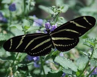 Zebra Longwing Butterfly - 4x6 Fine Art Photograph