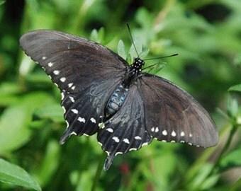 Pipvine Swallowtail Butterfly - 4x6 Fine Art Photograph