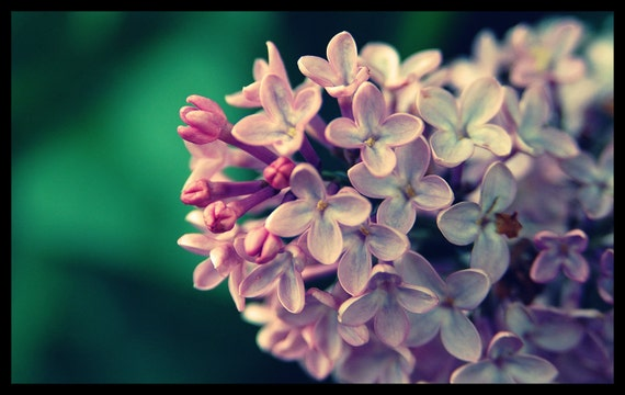 Floral Photography, Lilacs, Blossoms,  Purple, Garden, Spring Time, Home Decor, 8 x 10 print,