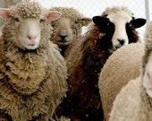 watching sheep - 10 x 4 original fine art photograph