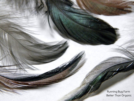 Rooster Feathers Iridescent Multicolored White Tipped Mahogany Brown Brunette Loose Naturally Molted Cruelty Free