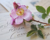 Rosa Solid Natural Perfume, Honey Bee Pot
