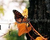 Fall Monarch Butterfly - 8x10 Art Photography Print