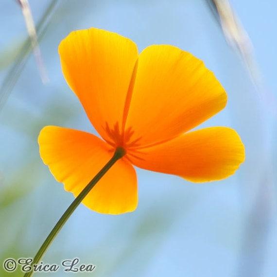 California Poppy Photo Orange Flower Picture 5x7 Wildflower Photography Fine Art Print - Day Glow