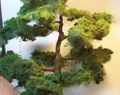 canarian pine, large tree